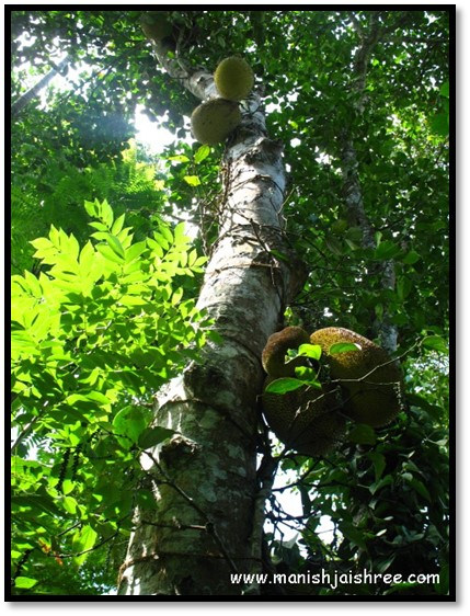 Jack Fruit tree