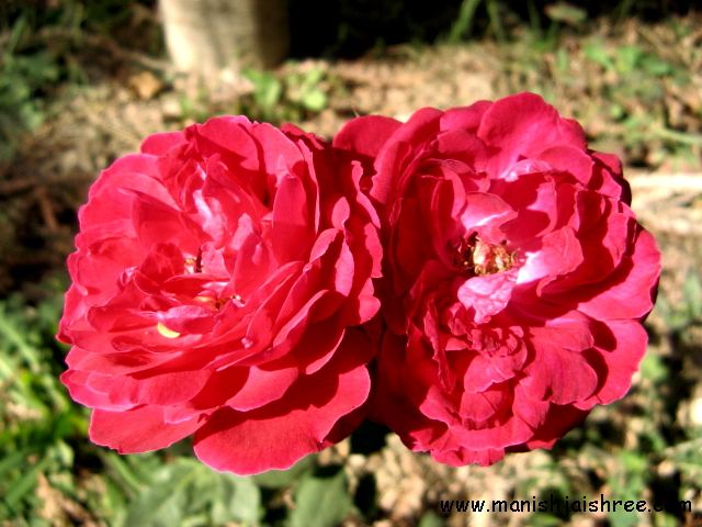 Two roses