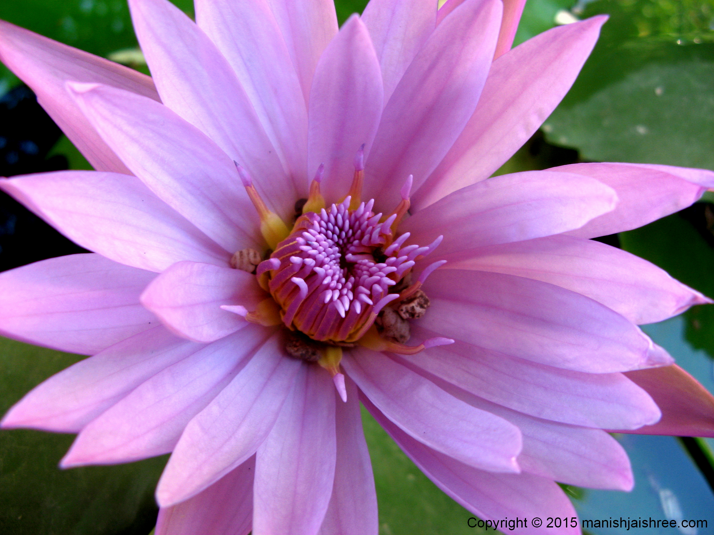 Water-lily, the appetizer