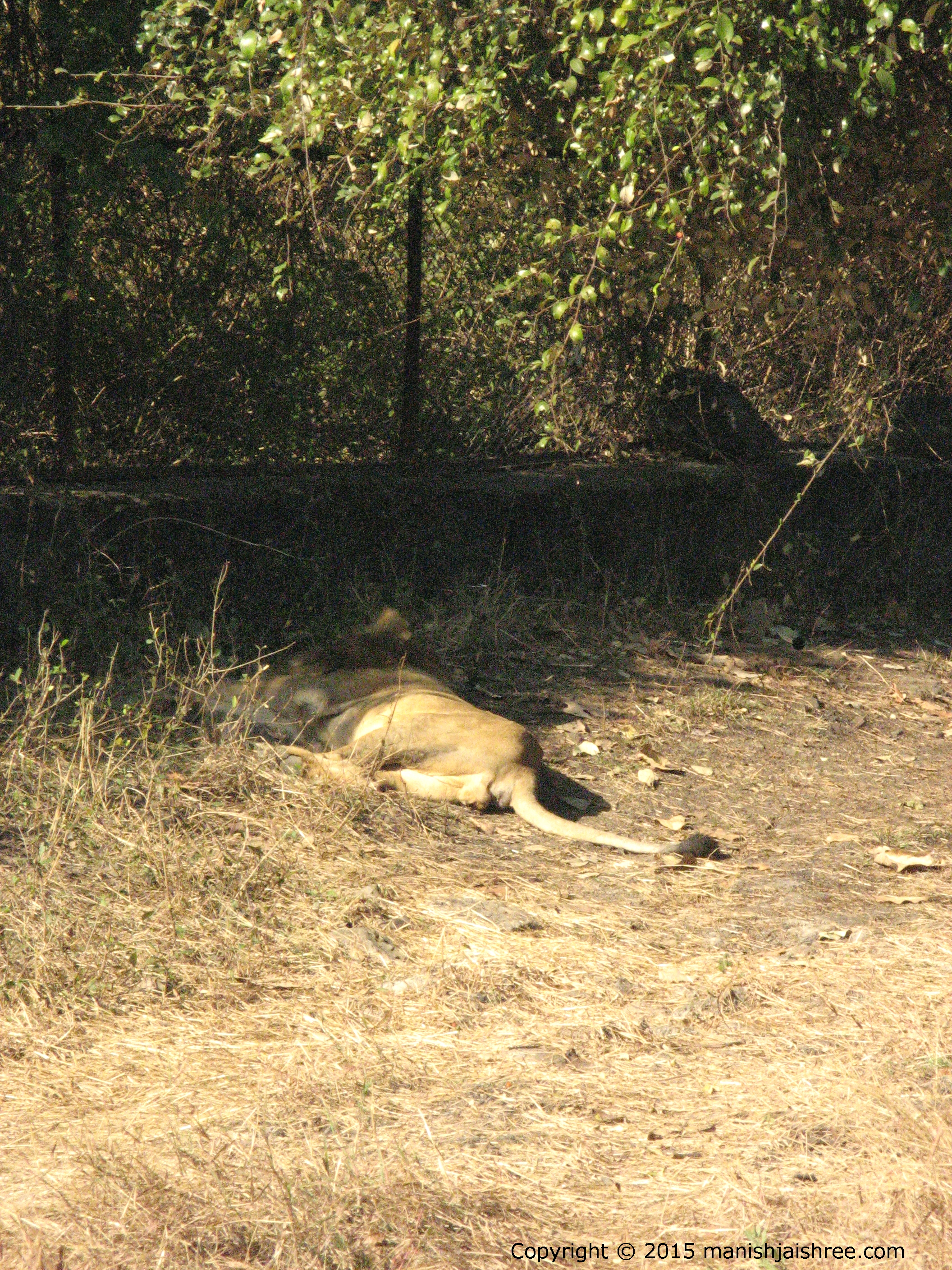 Taking Nap, Asiatic Lion
