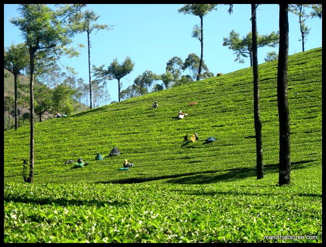Tea-Estates of Munnar