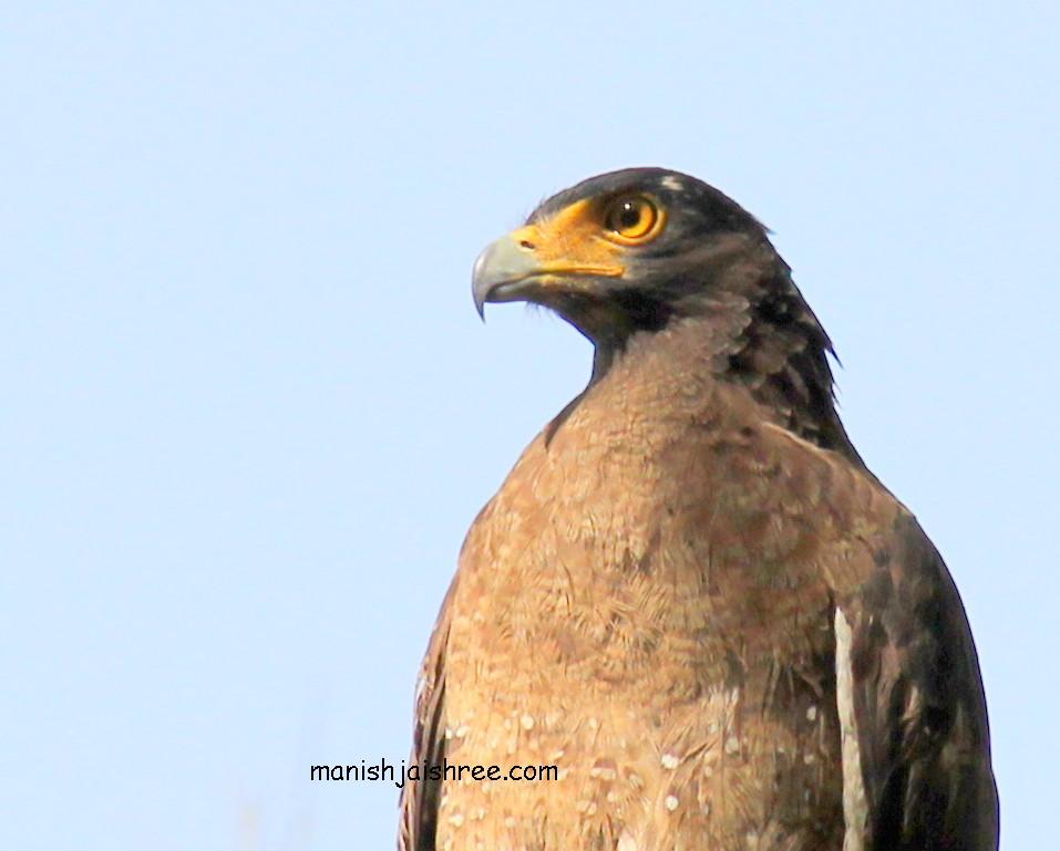 'Crested Serpent Eagle' at Jim Corbett natinal Park