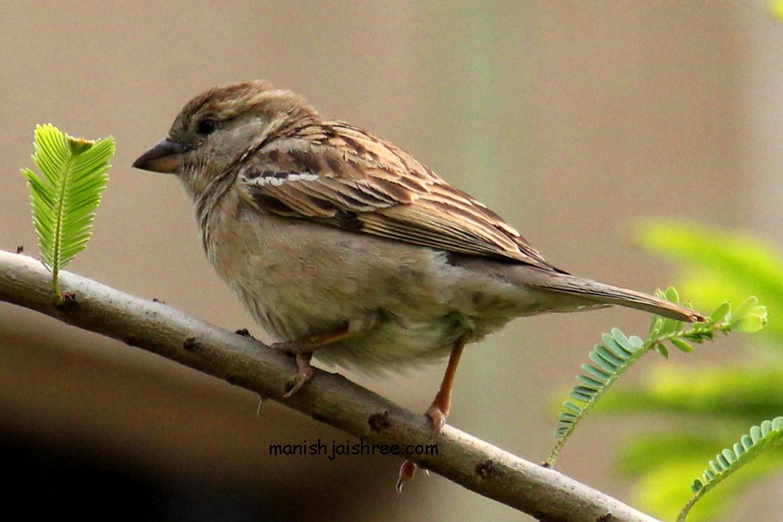 House Sparrow- female