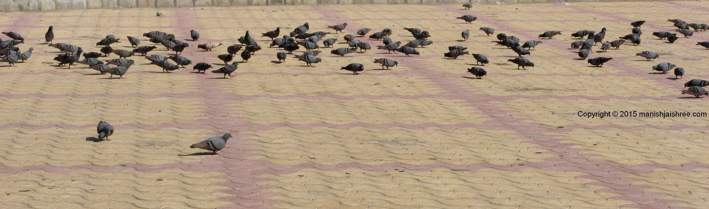 Pigeons in front of Somnath Temple