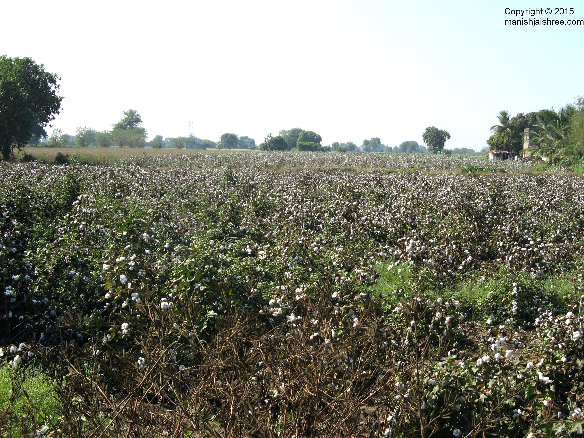 Cotton Fields near Junagarh