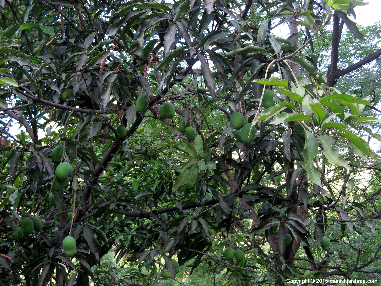 मेरे लिए आमों से लदे वृक्षों का यह दृश्य कभी इतना आम नही था 