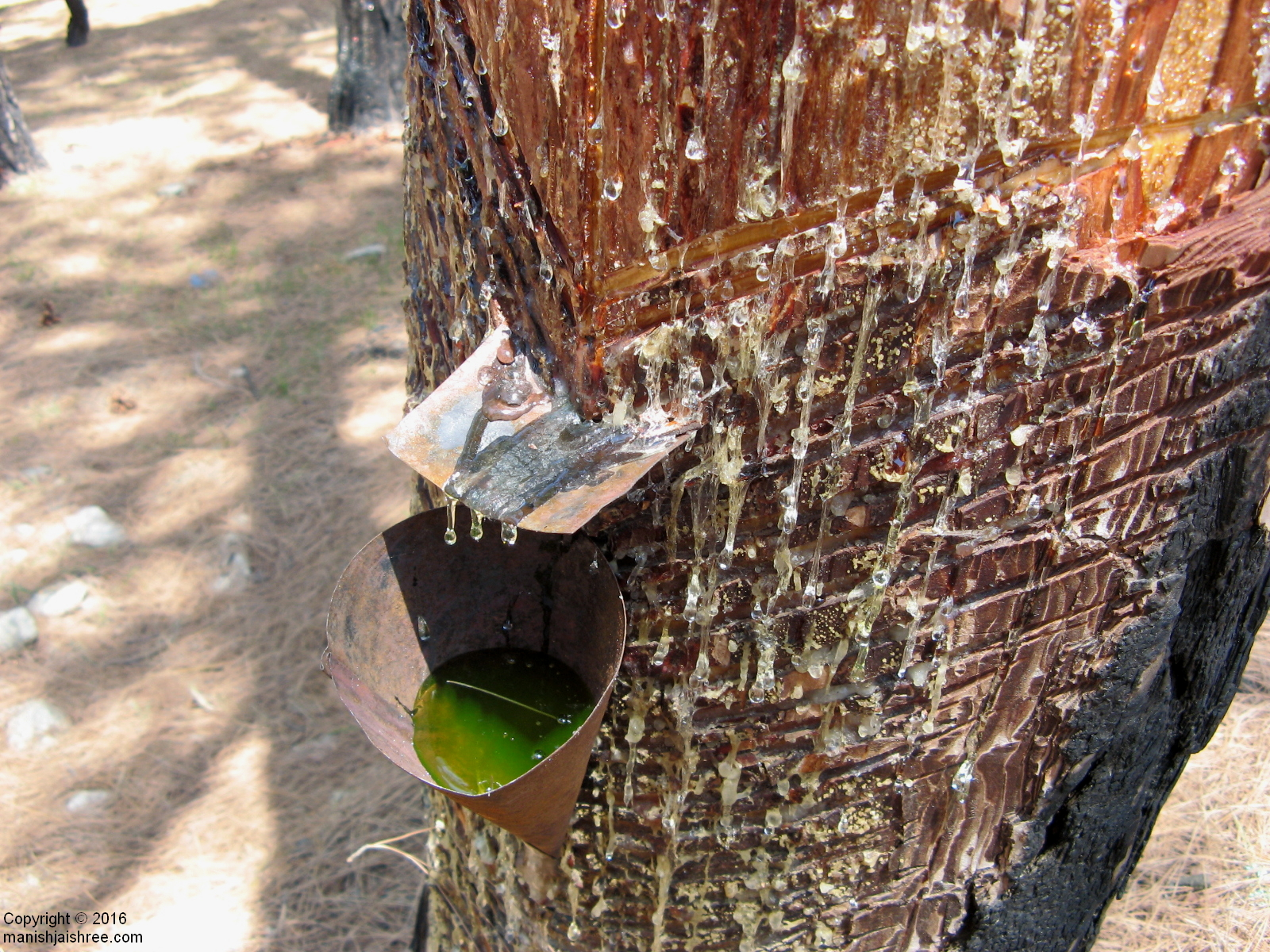 Collecting resin from a pine tree, Binsar